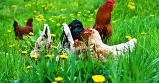 Ayam Organik Indonesia, Ayam Collagen