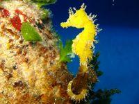 kuda laut keanekaragaman hayati indonesia