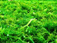 Manfaat Nutrisi Rumput Laut untuk Kesehatan