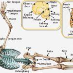 rangka tubuh manusia