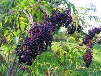 8 Khasiat Buah Elderberries