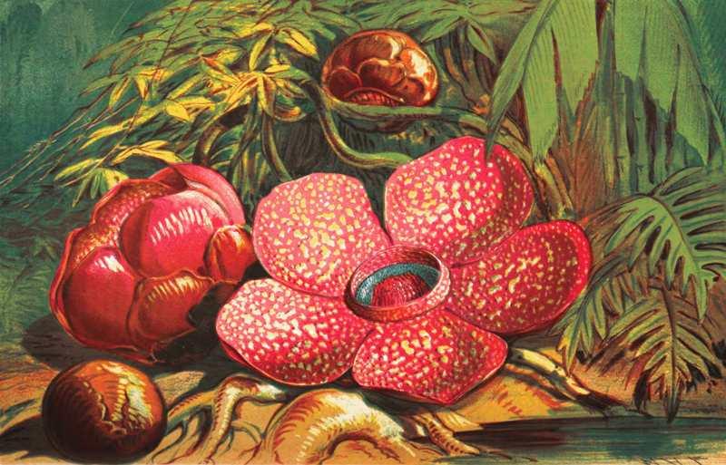 Bunga Rafflesia Arnoldi