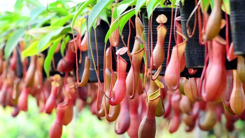 Tumbuhan Kantong Semar