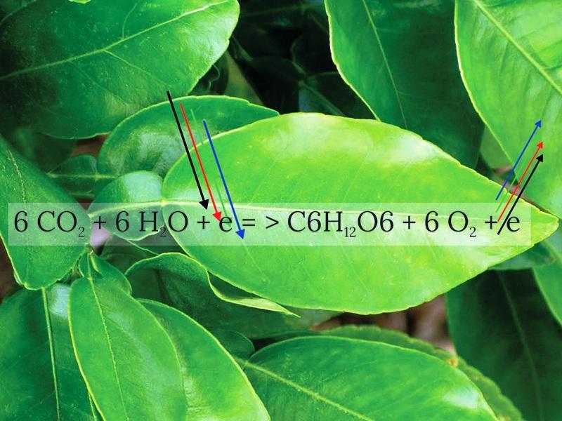 fotosintesis tumbuhan