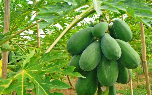 Manfaat dan Nutrisi Buah Pepaya dan Manfaat Getah Pepaya