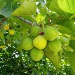Manfaat dan Kandungan Kimia Jarak Pagar (Jatropha curcas)