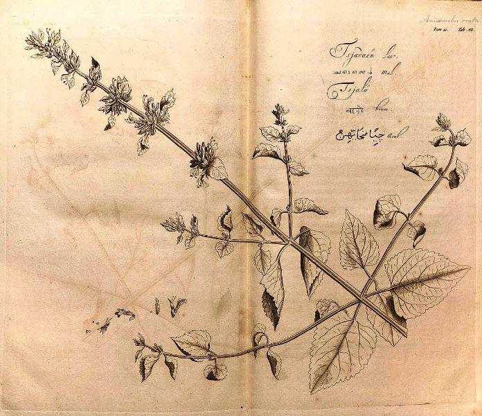 tanaman kemangi