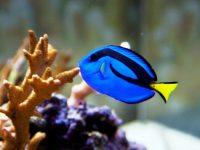 Penangkapan Ikan 'Dory' bisa meracuni ekosistem terumbu karang