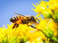 Pestisida yang populer bisa membahayakan lebah