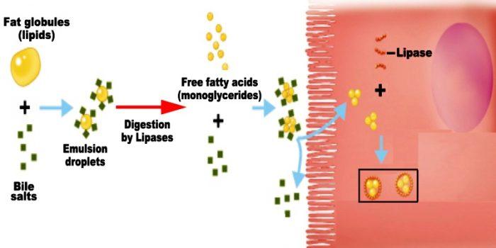 Pencernaan lemak di dalam tubuh