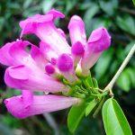Stepanot ungu (Pseudocalymma alliaceum)