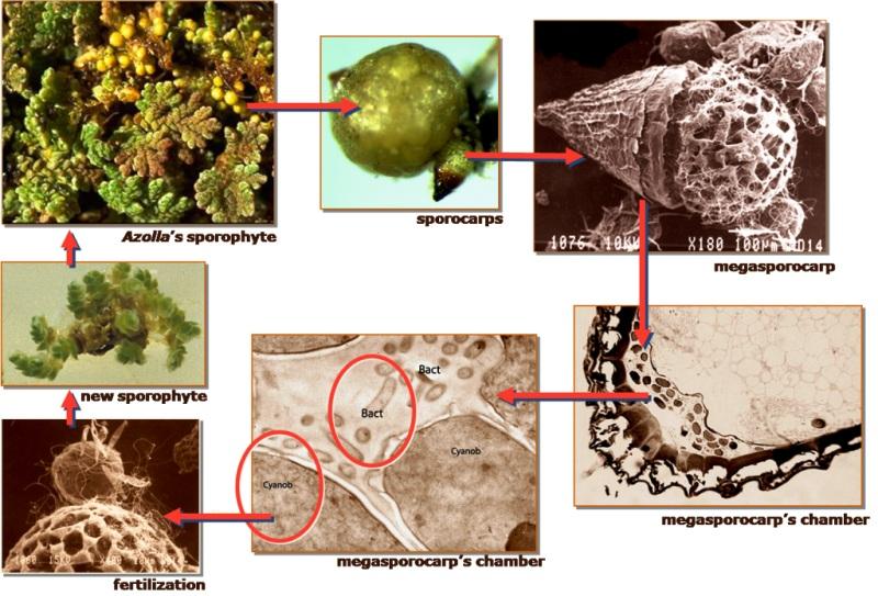 Anabaena ditularkan secara langsung dari generasi ke generasi berikutnya melalui spora reproduksi Azolla itu