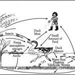 Azolla Penghasil Lele Organik Kualitas Ekspor Nutrisi Terjamin