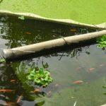 Manfaat Azolla Berlimpah Untuk Pakan Hewan Ikan Pupuk