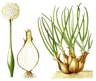 Gambar 1 : Morfologi Bawang Merah
