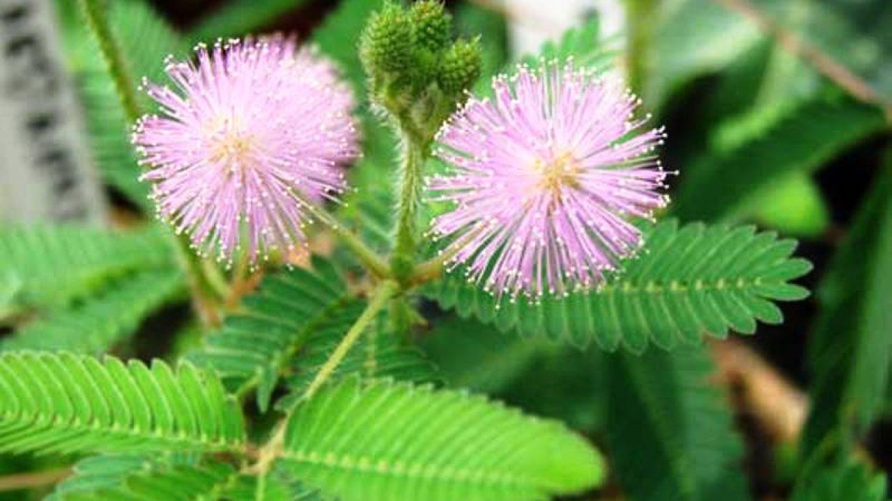 Tumbuhan Putri Malu Mimosa Pudica Linn Ulya Days