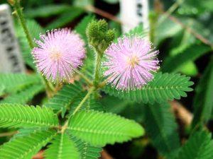 Tumbuhan Putri Malu (Mimosa pudica Linn)