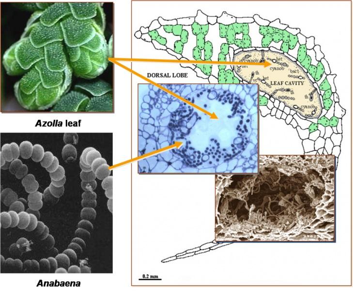 Rongga daun Azolla yang memberikan rumah bebas oksigen untuk Anabaena