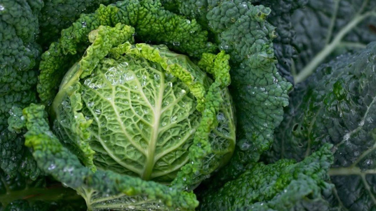 Tanaman Kubis Kol Brassica Oleracea Syarat Tumbuhnya Ulya Days