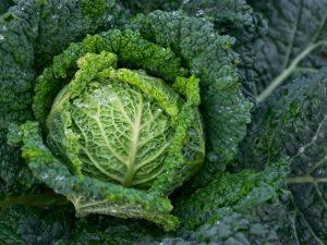 Tanaman Kubis Kol (Brassica oleracea) Syarat Tumbuhnya