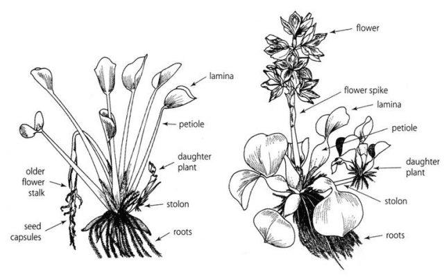 tanaman eceng gondok
