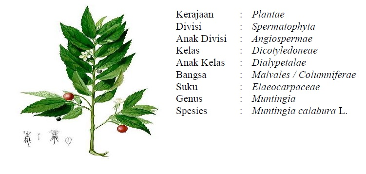 Tanaman Kersen (Muntingia calabura L.)