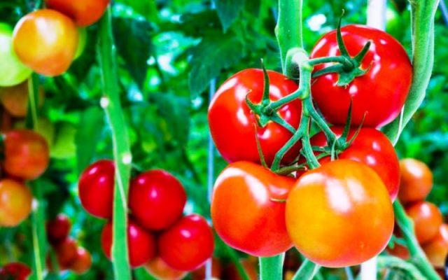 Hasil gambar untuk tanaman tomat
