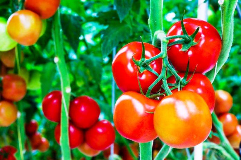 Syarat Tumbuh Tanaman Tomat dan Metode Pemupukannya