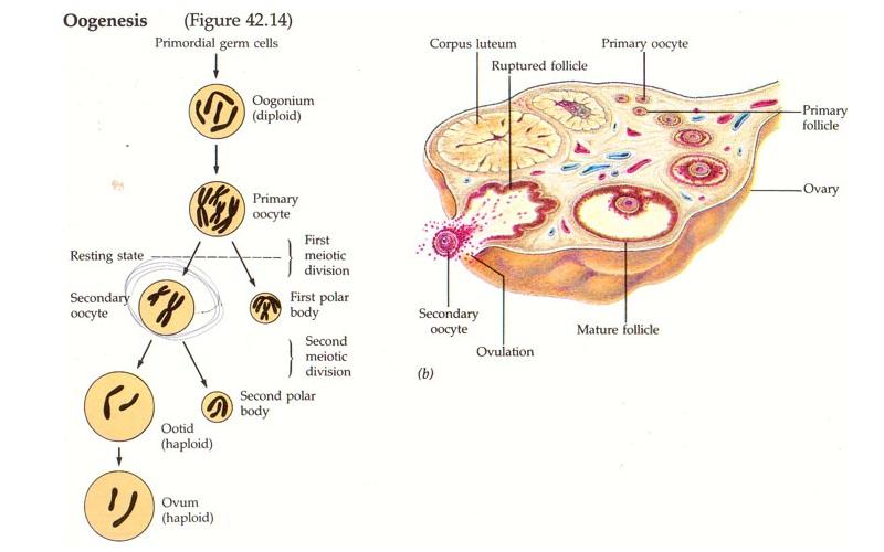 Fisiologi Kehamilan Manusia