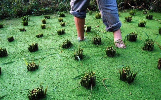 Inovasi Azolla Sebagai Pupuk Bio Organik Tanaman Padi