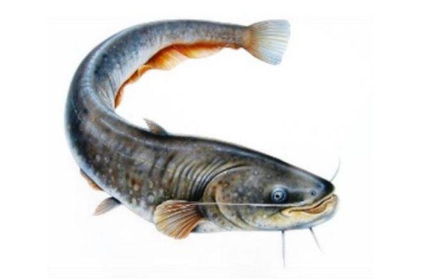 Metode Pemberian Pakan Ikan Lele Secara Matematis