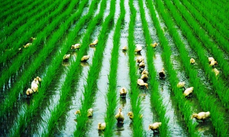 Padi Organik dan Bebek Sawah