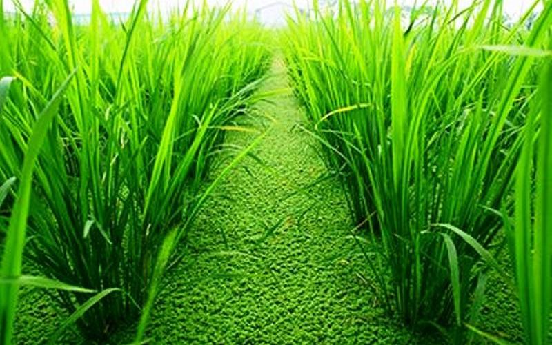 dosis inokulum azolla pada tanaman padi organik