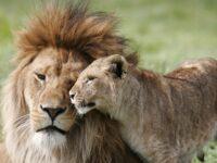 Binatang Singa (Panthera leo)