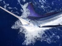 Ikan Marlin Biru Atlantik (Makaira nigricans)