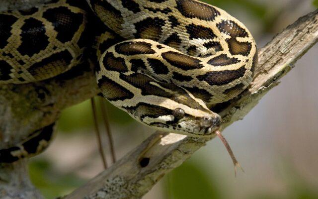 Ular Python Burma