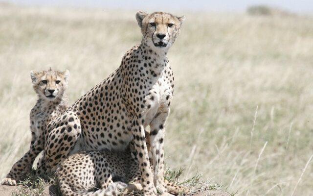 Cheetah atau Citah