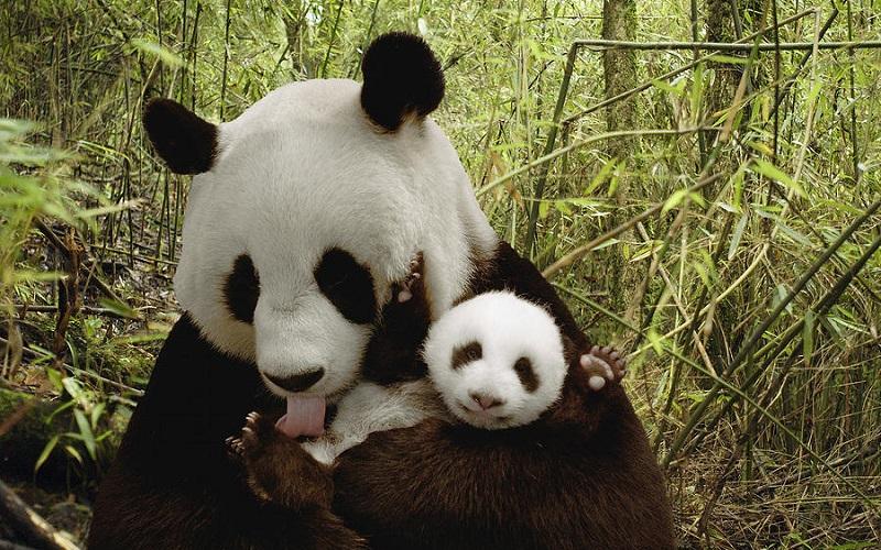 Giant Panda, Panda Raksasa