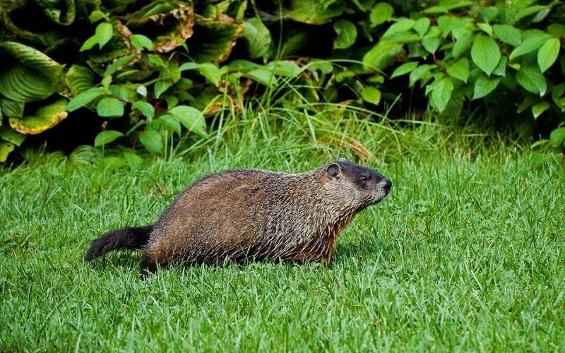 Marmot tanah (Marmota monax)