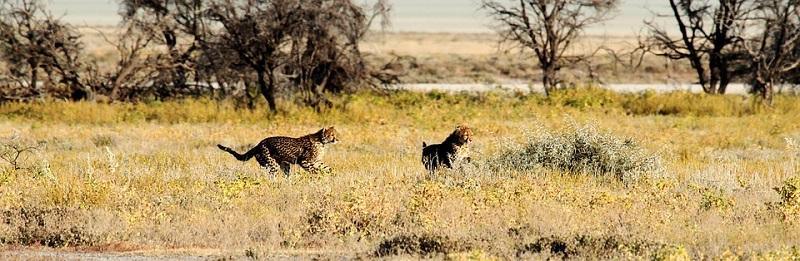 Binatang Cheetah atau Citah