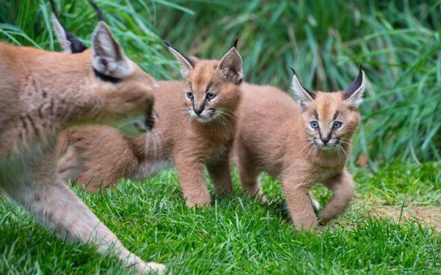 Karakal Kucing Liar Berukuran Sedang