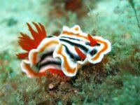 Nudibranch Siput Air Terbesar