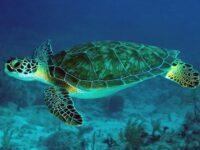 Penyu Laut Spesies Penyu Hijau