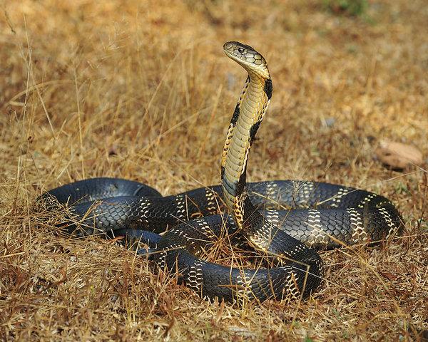 Raja Cobra