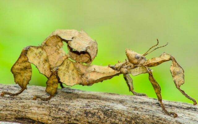 Serangga Tongkat