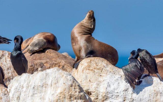 Singa Laut California